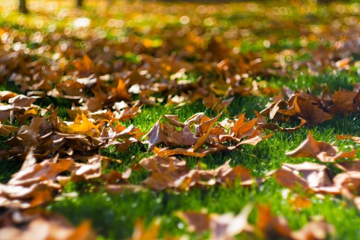 Efterårsblade på plænen