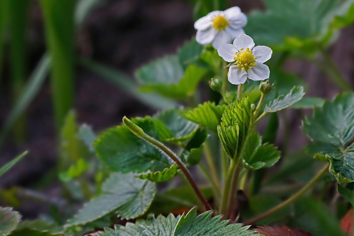 Plant jordbærplanter til næste år