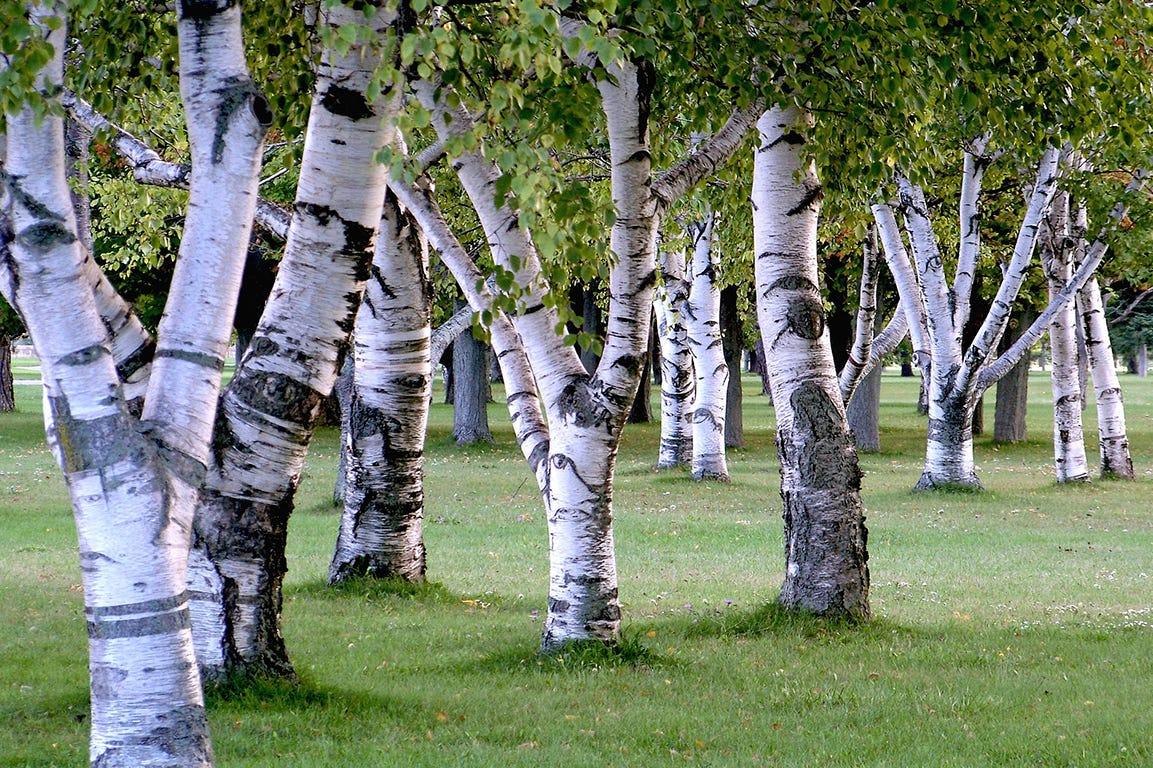 I august kan du beskære dine birketræer