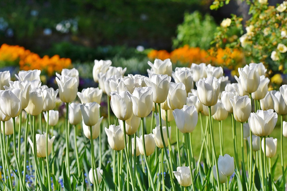 Læg løg til dine forårsblomstrende blomster nu