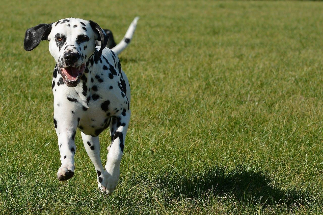 hond gras tuin lopen rennen dalmatiër