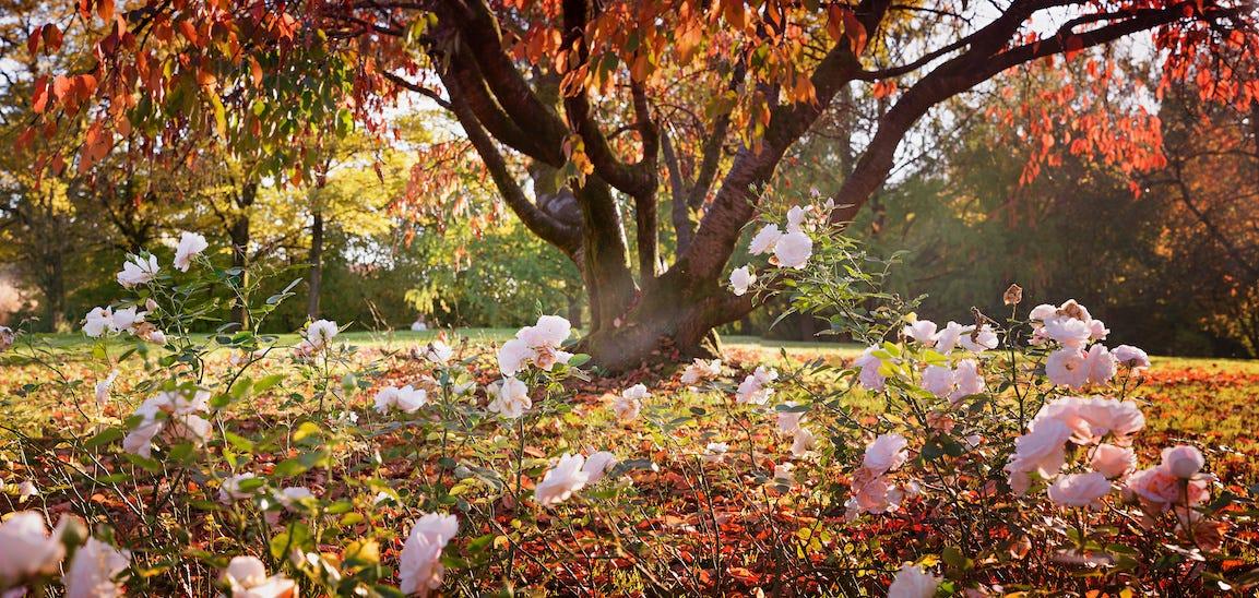 rosier en automne