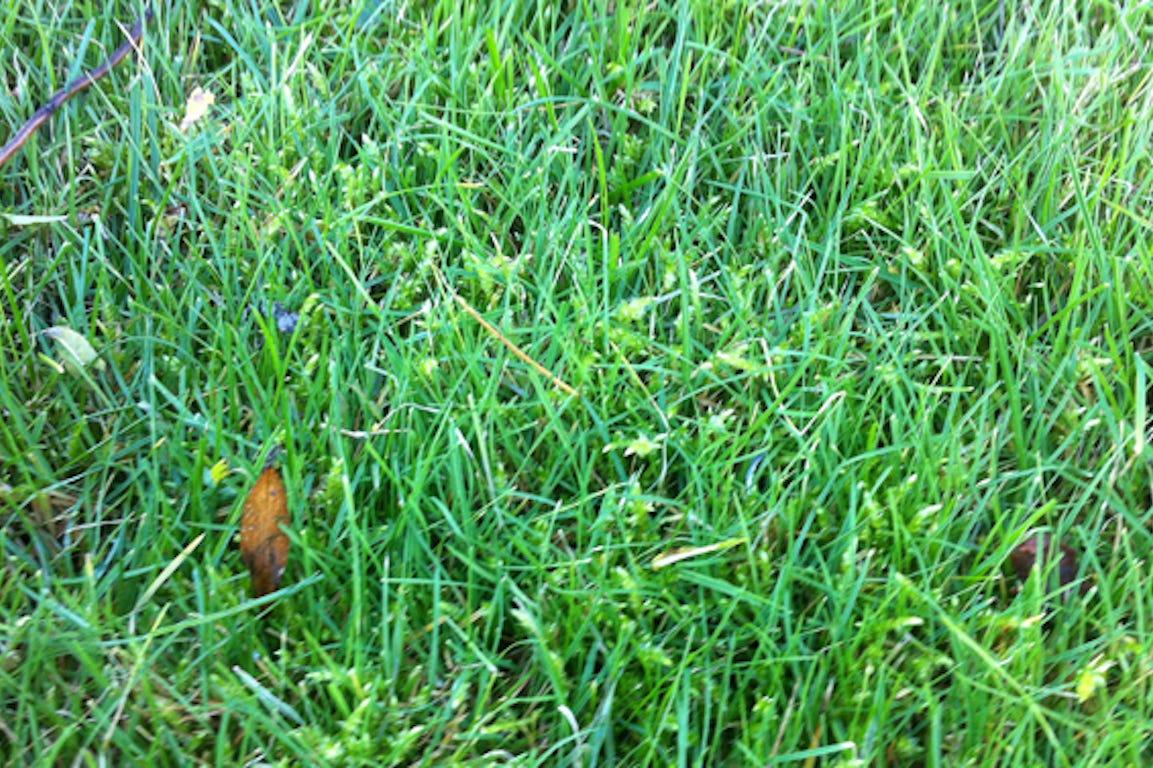 Apparition de mousse dans de la pelouse verte