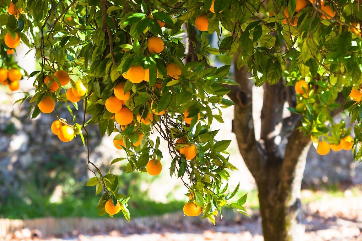arbres fruitiers oranges dans jardin au printemps