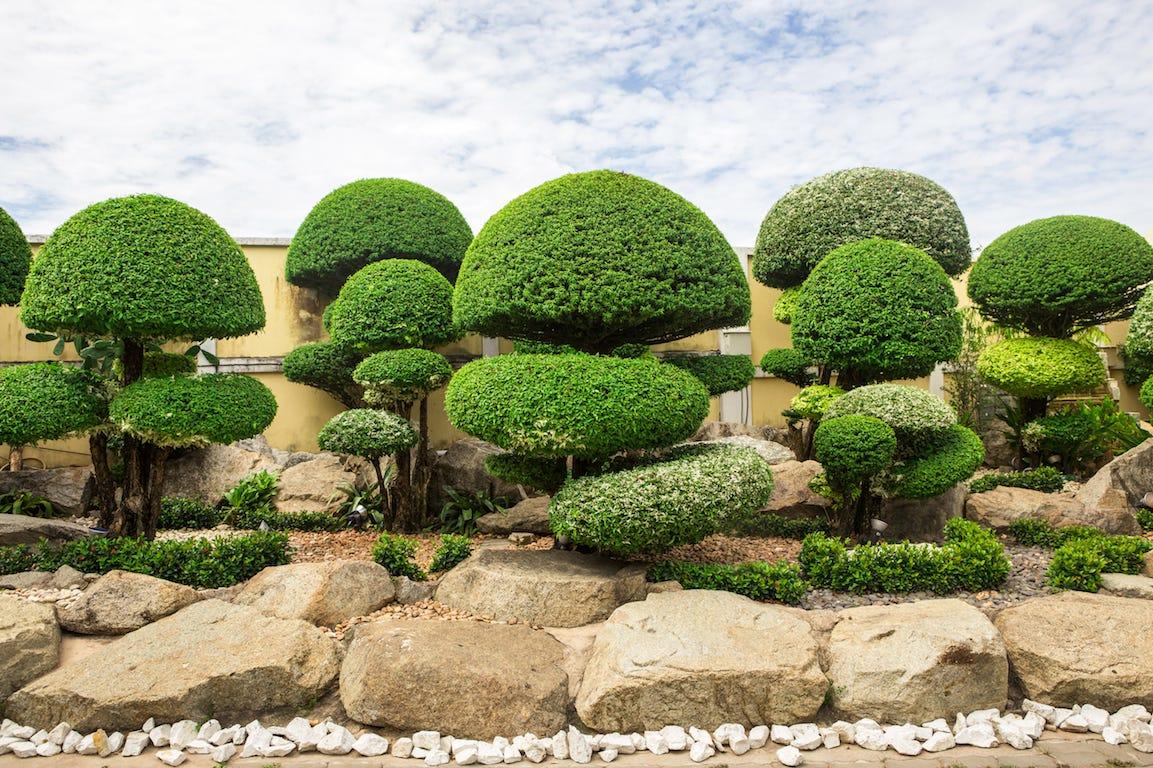 arbustes japonais taillés au bord sur pavé en pierre