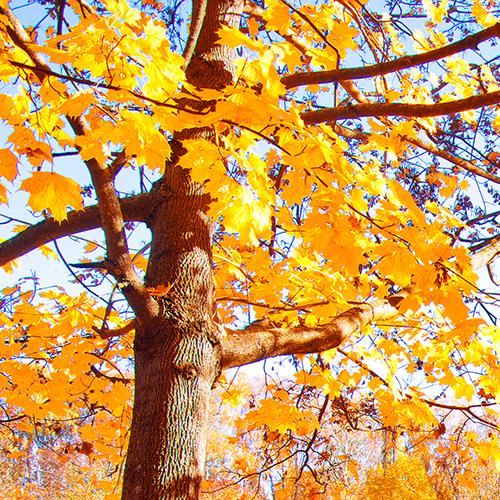 Puu keltaisilla lehdillä syksyllä