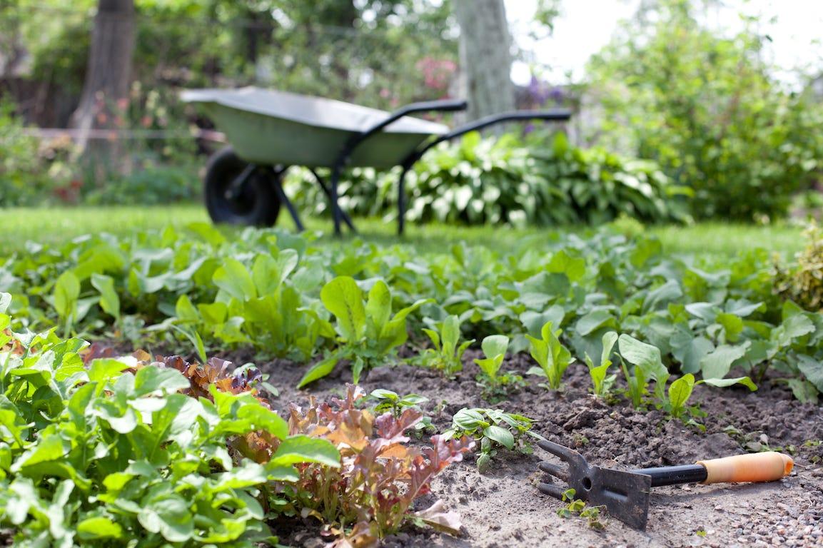 brouette sur potager en plantation