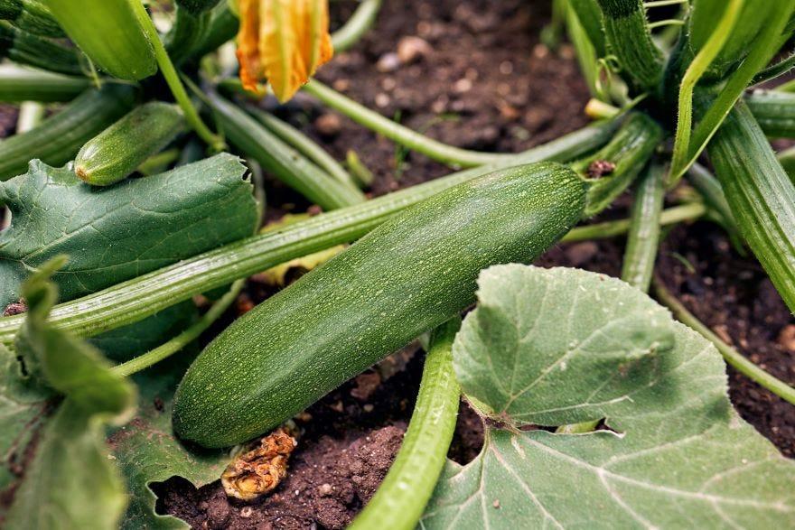 Cultiver des courgettes