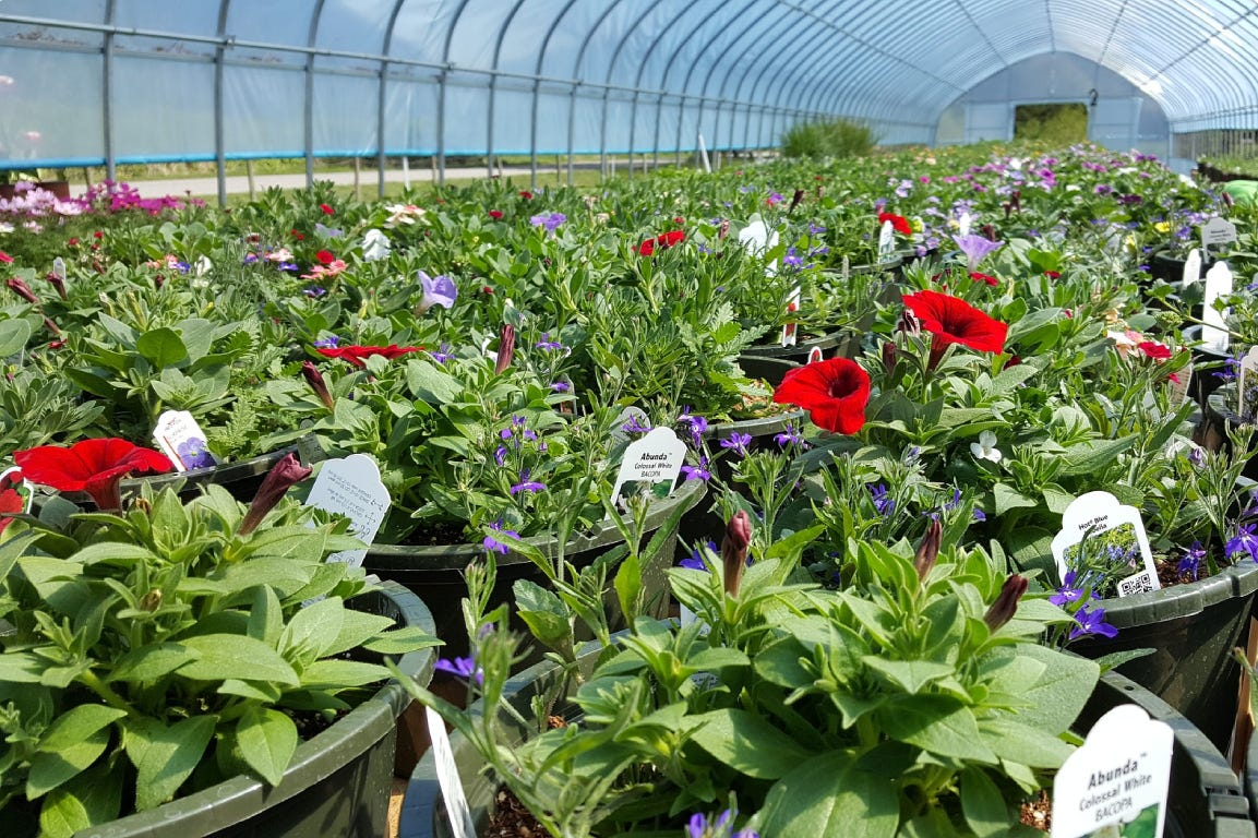 Plant nursery with red and white flowers in pots