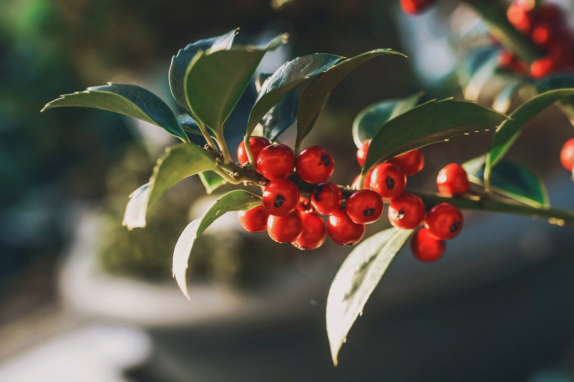 holly ivy bush with red berries