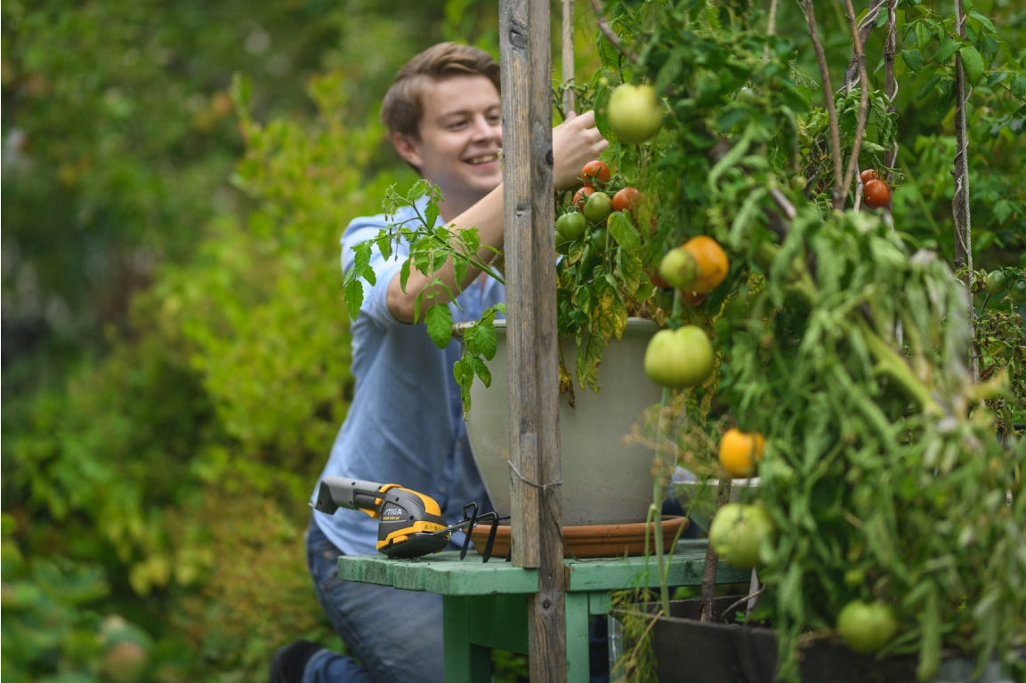 Young man collecting tomatoes from a small green plant