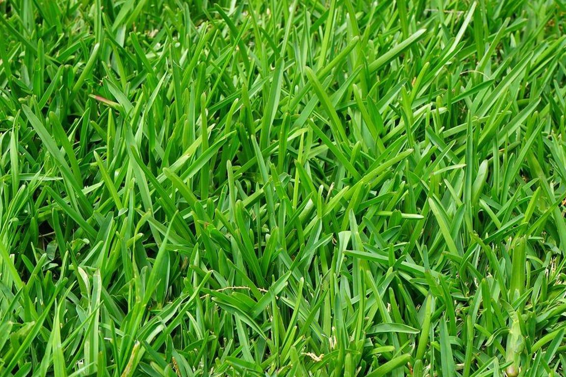 Klippehøjden afhænger af græsarten