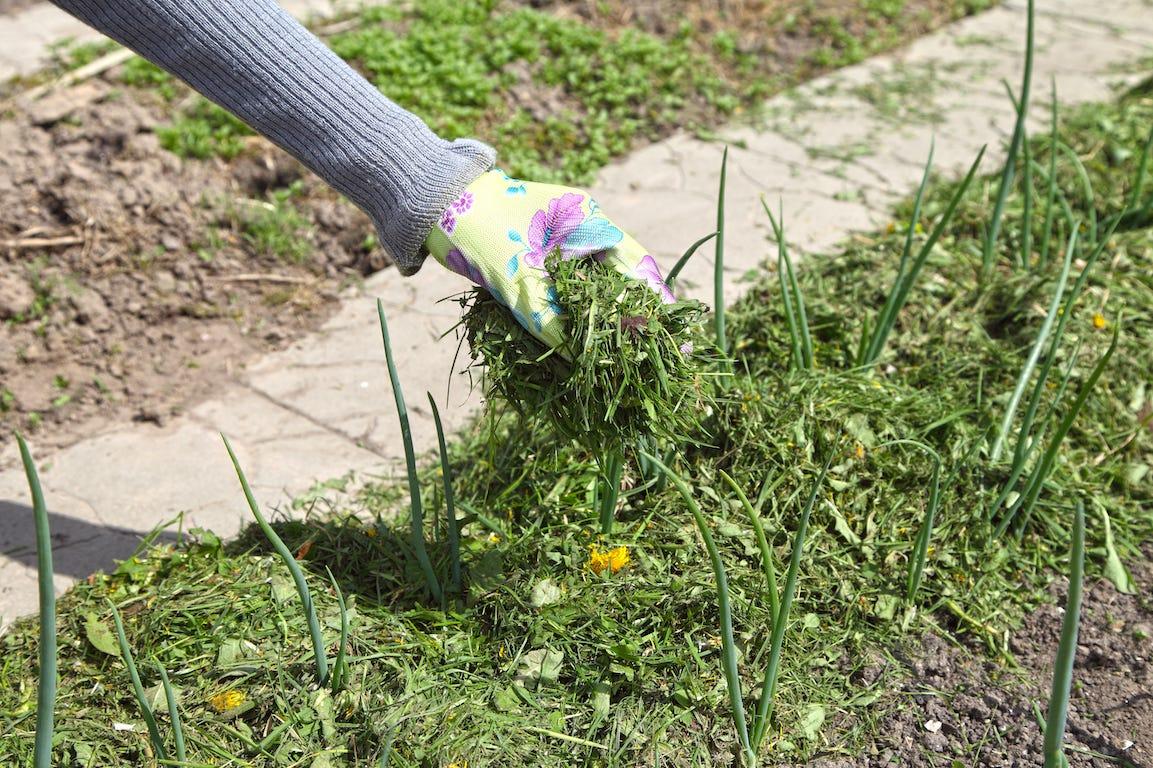paillage de la pelouse à la main avec du mulch