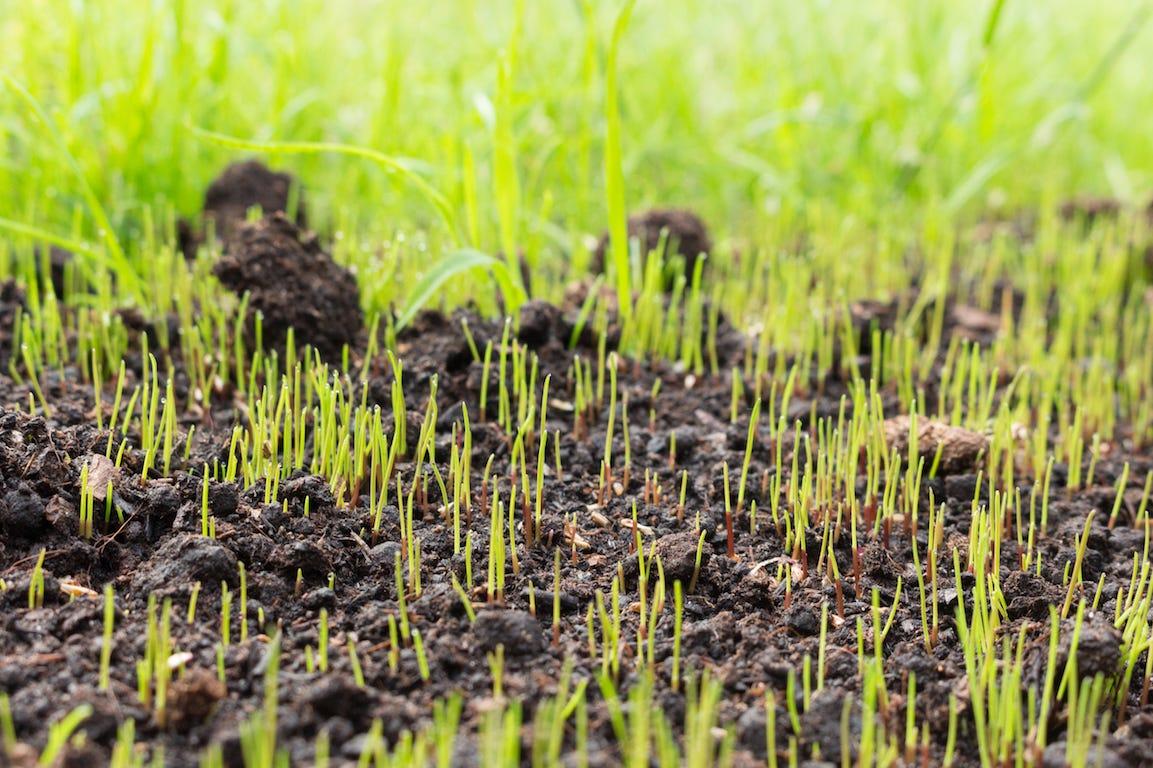 pousse de pelouse dans jardin sur terre