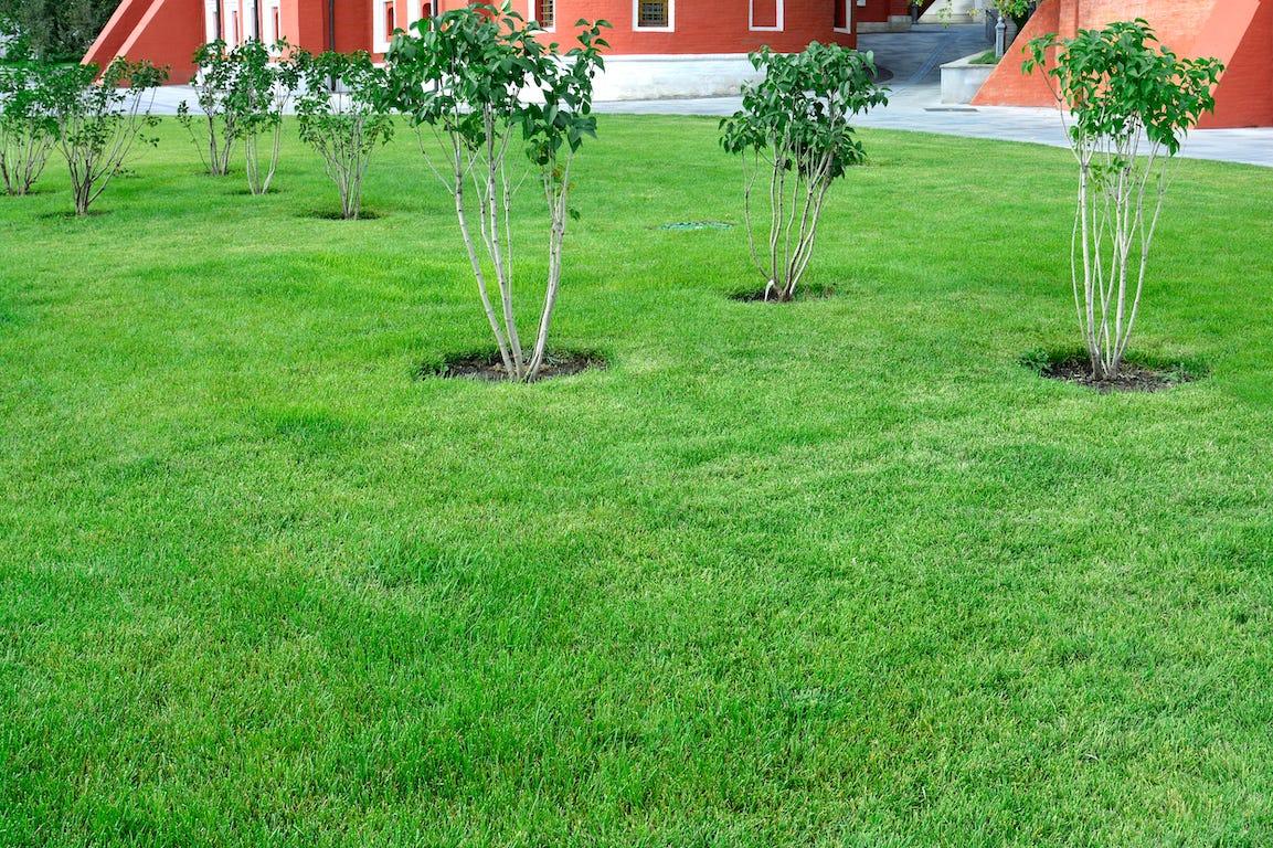 pelouse en bonne santé grâce au mulching avec arbustes autour
