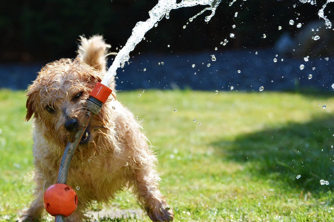Dog playing with water hose in the garden