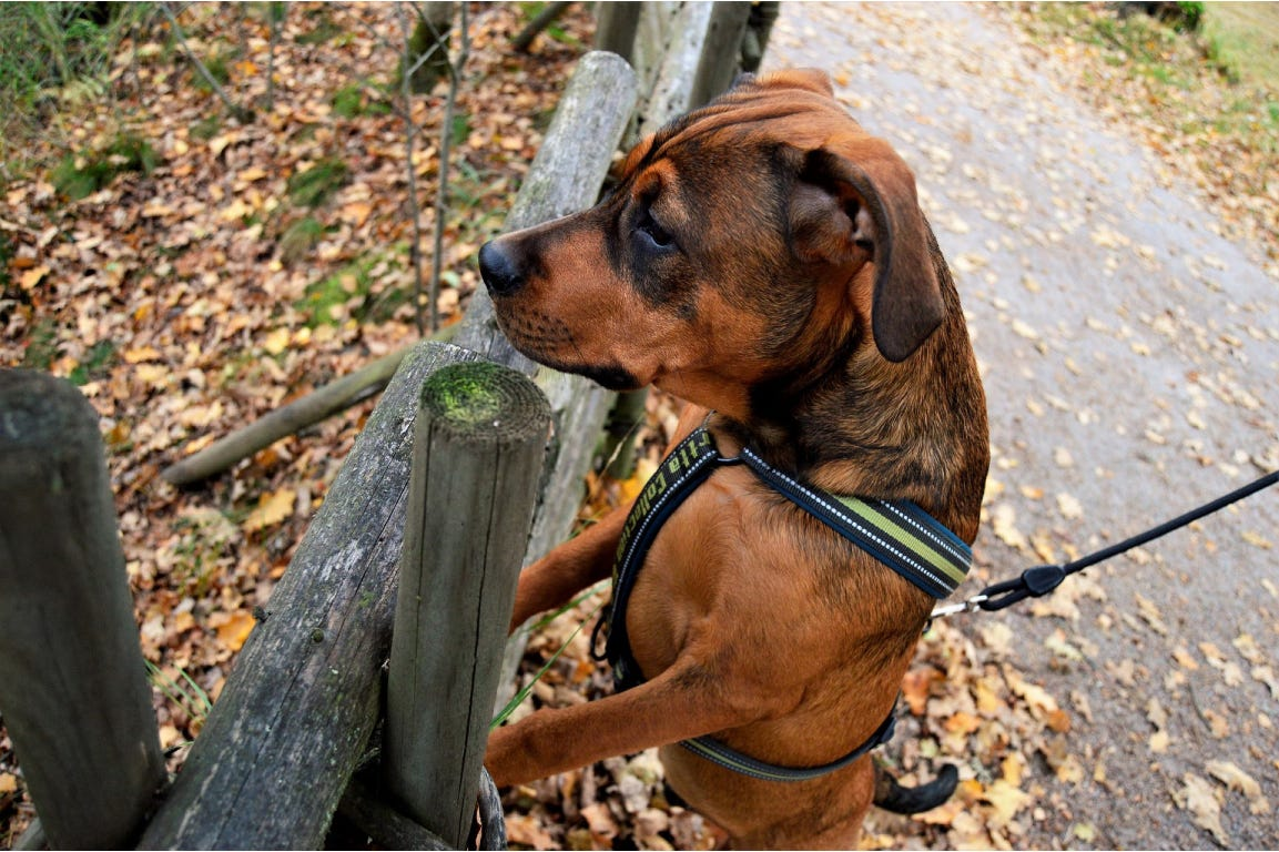 Dog standing close to a wood fence and looking on the other side