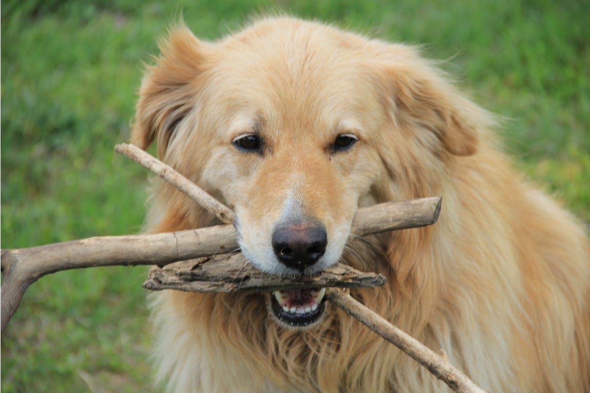 Big dog playing with branches on the grass