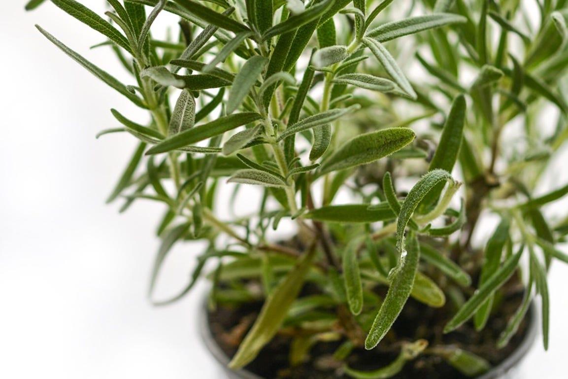 voordelen van zelf gekweekte kruiden rozemarijn