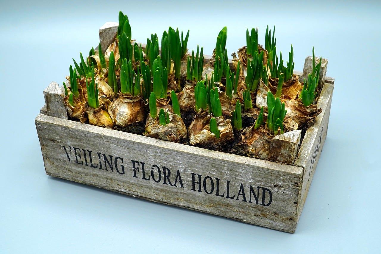 bakje bloembollen tulpen bollen najaar planten