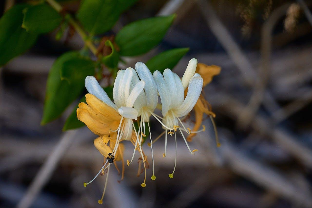 herfst bloem kamperfoelie