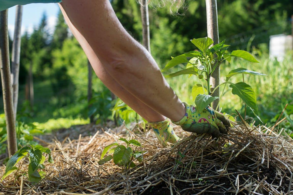 plantation de plante dans un potager