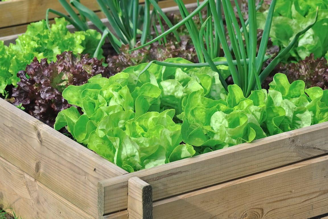 plant de salade dans un potager en gros plan