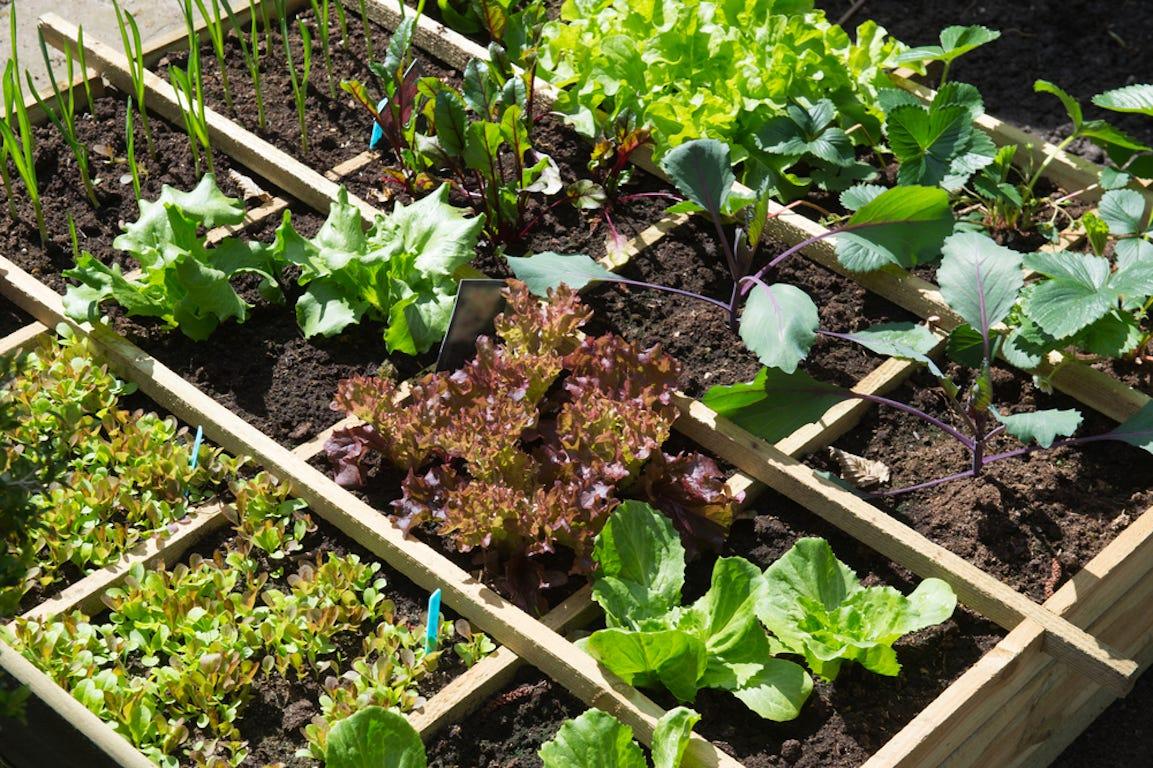 potager carré dans un jardin