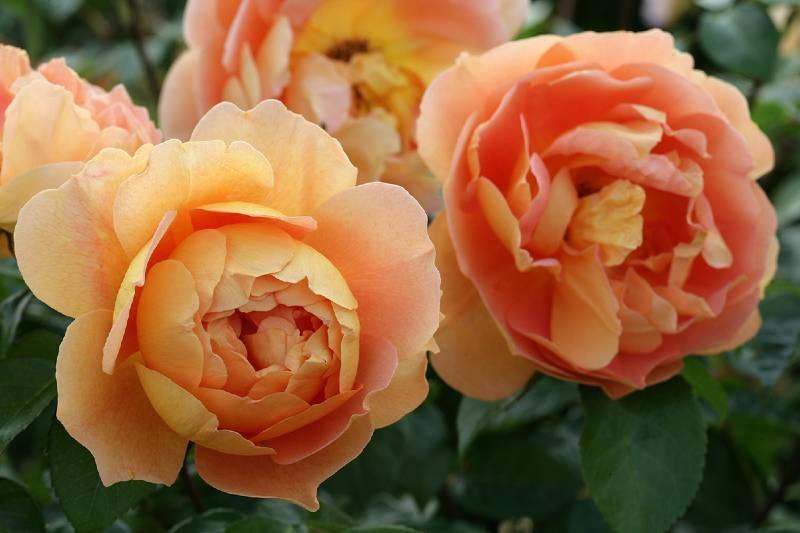 Rose 'Pat Austin' (©N. & P. Mioulane / NewsJardinTV – Jardimiou)