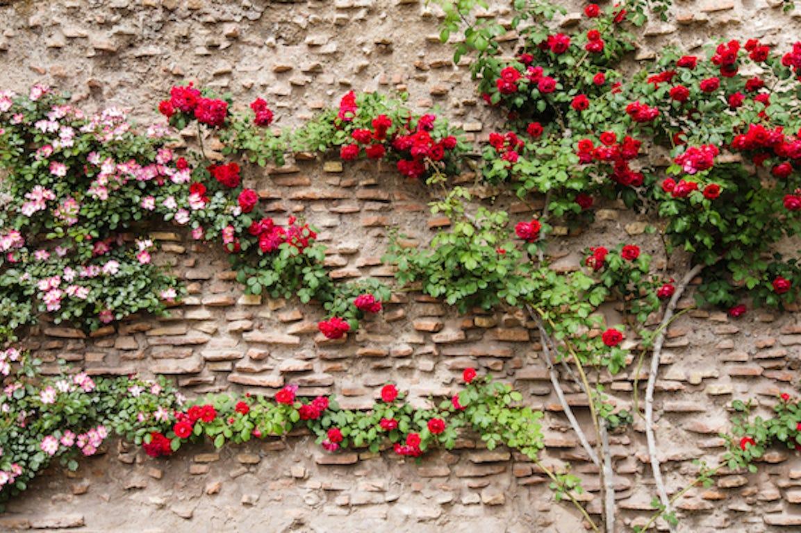 roses grimpantes sur un mur en pierre
