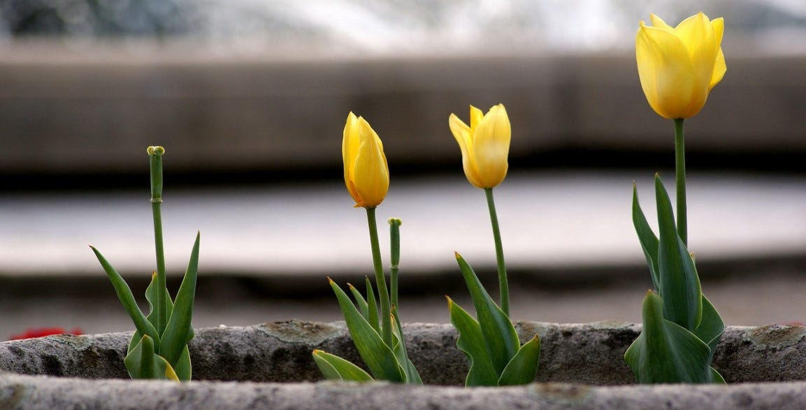winter bloem plant tulp planten