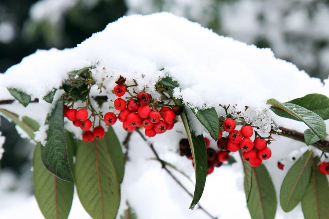 winter sneeuw bessen plant tuin